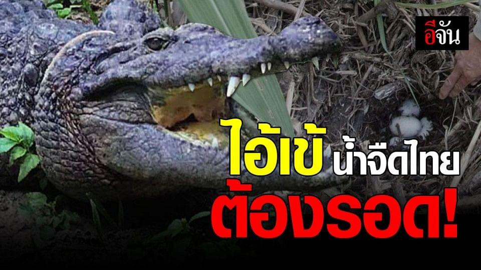 แค่คิดก็เศร้า! จระเข้น้ำจืดไทย จำนวนน้อย ใกล้สูญพันธุ์