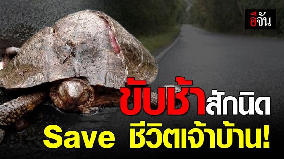 ภาพสลด เต่าโดนรถเหยียบตายที่เขาใหญ่ อีกแล้ว!