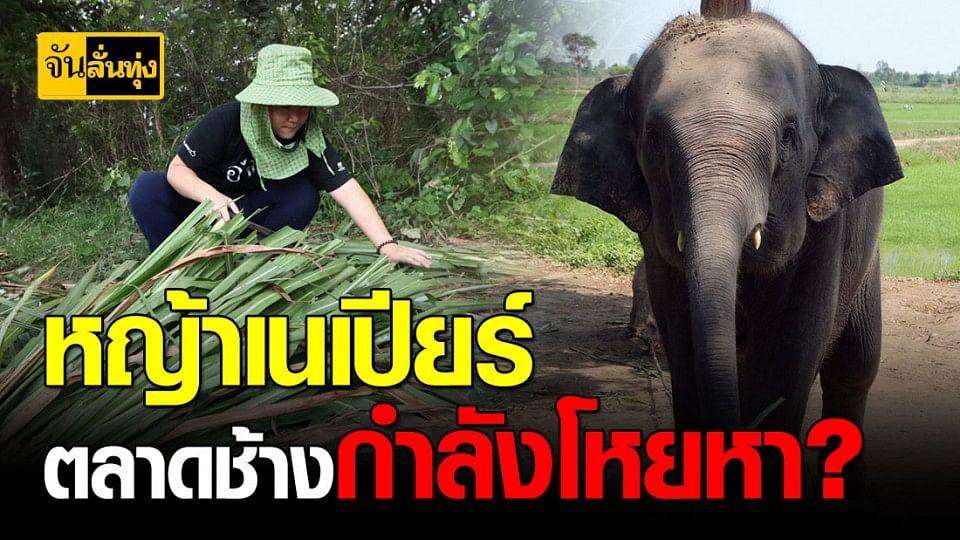 รู้จักหญ้าเนเปียร์ หญ้าที่ตลาดช้างกำลังโหยหา ปลูกไว้กำไรงาม