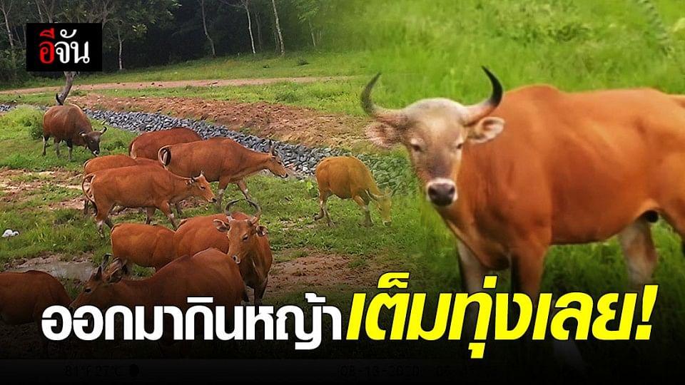 เผยภาพจากกล้องดักสัตว์ป่าเขาอ่างฤาไน  พบวัวแดง กระทิง กวางป่า ช้าง