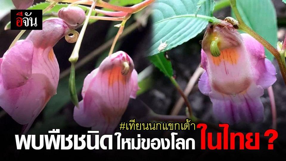 """ดอกไม้คล้ายนก """" เทียนนกแขกเต้า """" พืชชนิดใหม่ ของโลก ค้นพบในไทย"""