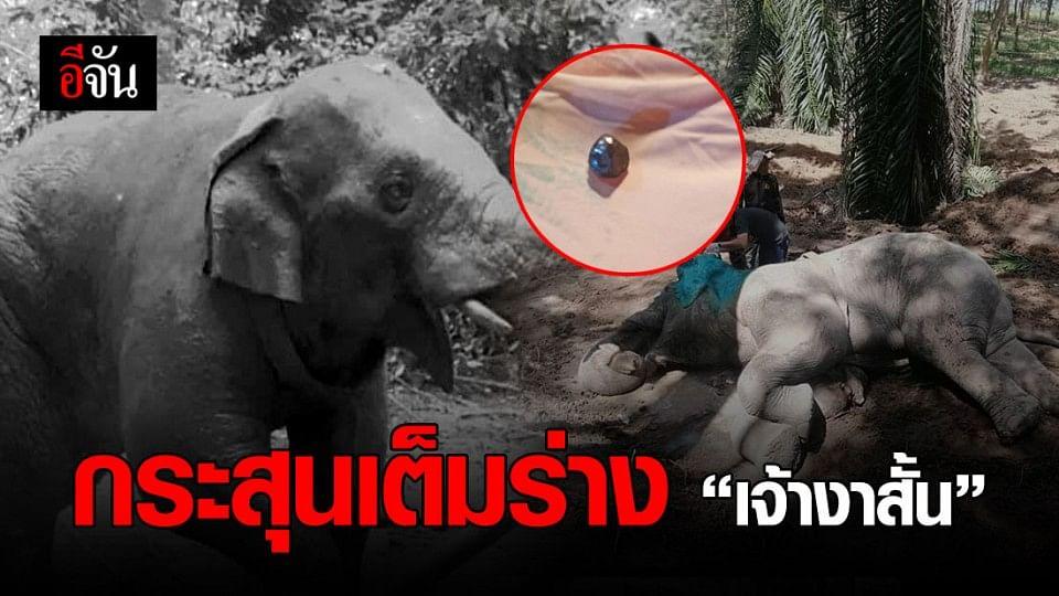 สะเทือนใจ ช้างป่า  เจ้างาสั้น พบกระสุน อยู่ในร่าง 15 นัด