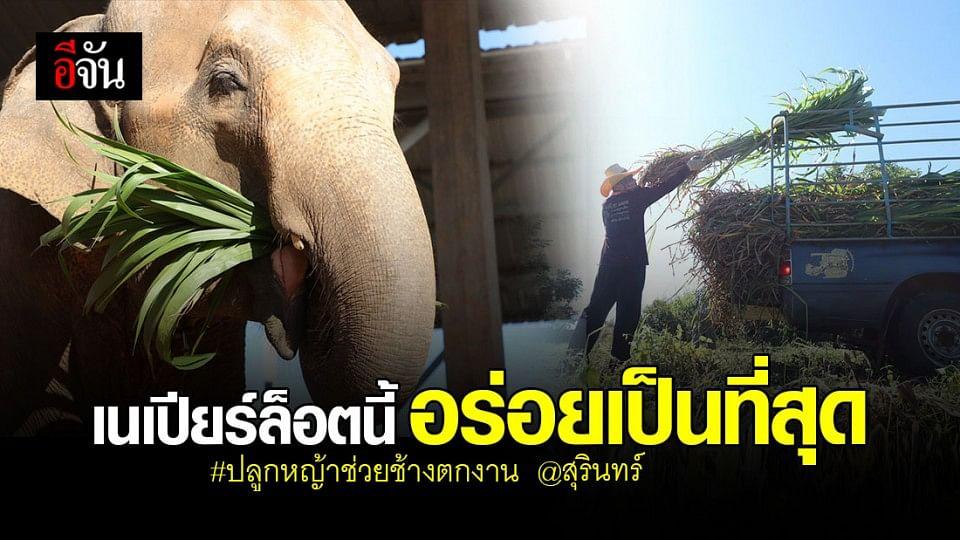 """ชื่นใจ 4 เดือน หญ้าเนเปียร์ 40 ไร่ น้ำหนัก 50 ตัน ต่ออิ่ม """" ช้างตกงาน """" ได้หลายวัน"""
