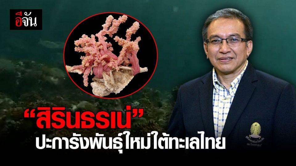 """จุฬาลงกรณ์มหาวิทยาลัย พบปะการังสายพันธุ์ใหม่ของโลก กรมสมเด็จพระเทพฯ พระราชทานชื่อ """" สิรินธรเน่ """""""