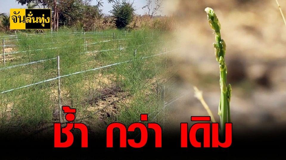 โควิด พาช้ำ! เกษตรกร ขอนแก่น ส่งออก หน่อไม้ฝรั่ง ไม่ได้