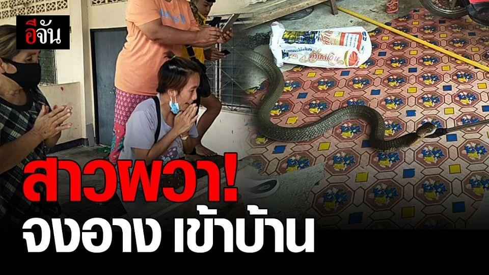 ผวา! งูจงอาง ยาวกว่า 5 เมตร เลื้อยเข้าบ้าน สาวกระบี่ เชื่อเป็น งูเจ้าที่