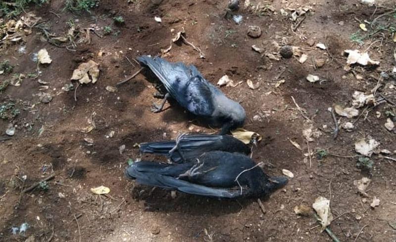 जुनी सांगवीत कावळ्यांच्या गूढ मृत्यूने पक्षीमित्रांमधून हळहळ