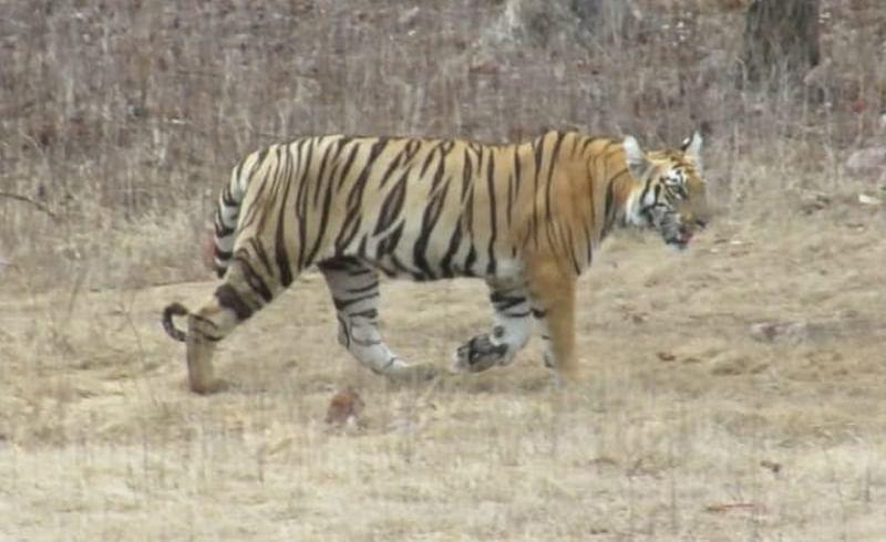 janjira tiger