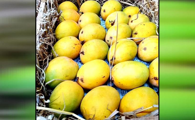 मुंबईकरांनो, कोकणतील हापूस आंब्याबद्दलची ही बातमी वाचाच