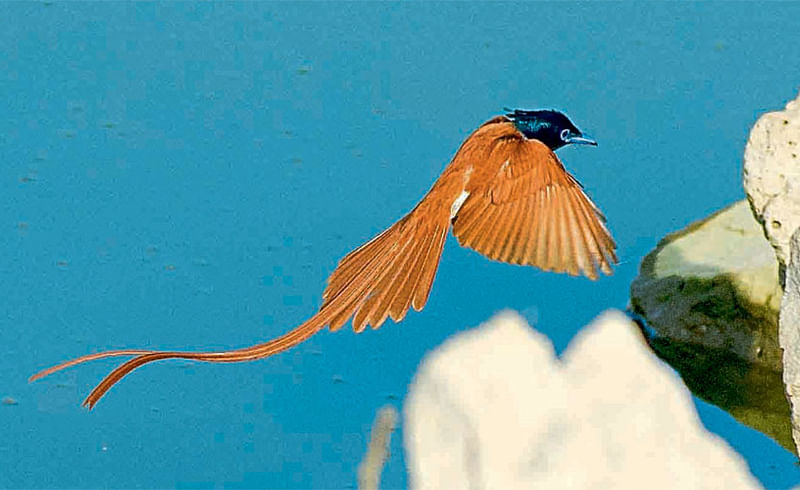 swargiy nartak bird