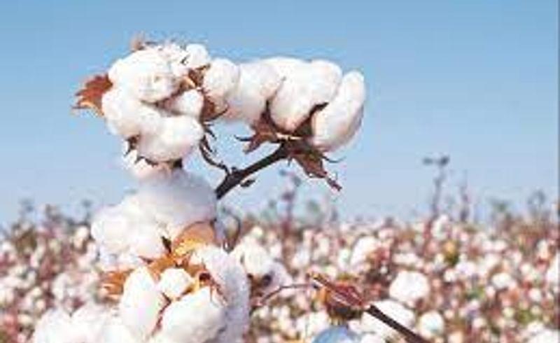 b.t. cotton