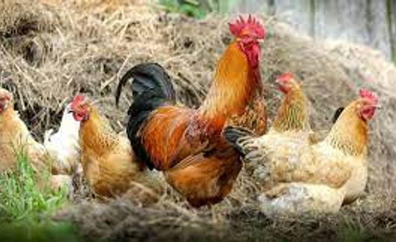 कोंबड्यांचा उष्मा'घात', कुक्कुटपालनासाठी वेळीच उपाययोजन गरजेचे