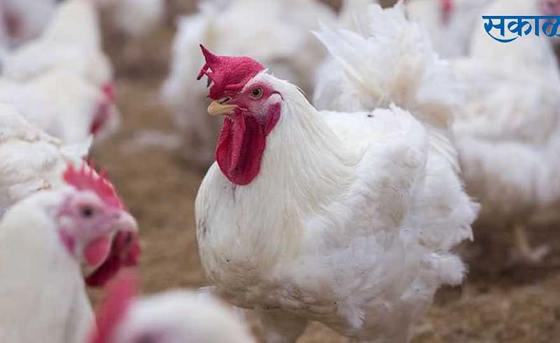 33 thousand 500 hens destroyed due to bird flu in amravati