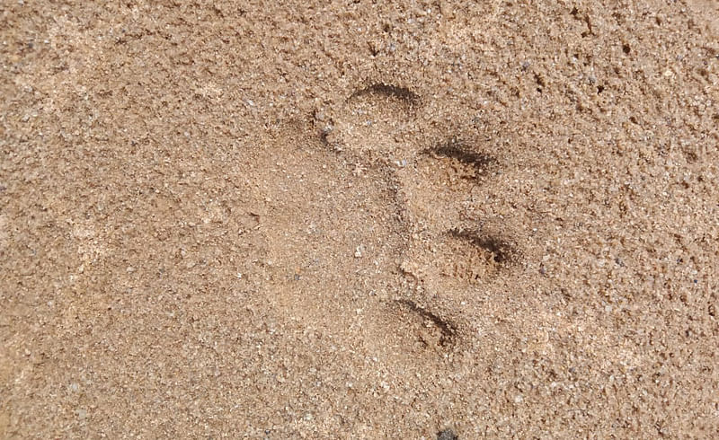 The footprint of a tiger was seen in the village of Chandrapur district