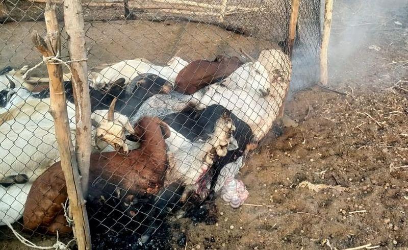 goat dead