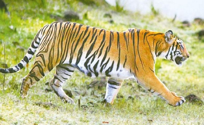 two tigers and bears will send to delhi fron Gorewada National park Nagpur