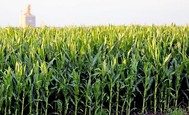 corn crop 1.jpg