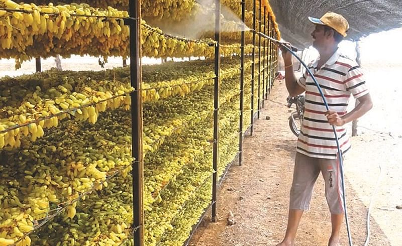 Lockdown effect : Export quality grapes sent to prepare raisin