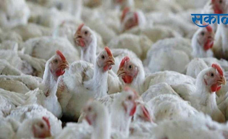 bird flu outbreak in nagpur