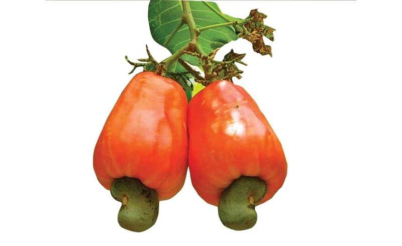 Congress Demand To Agriculture Minister Regarding Cashew Crop