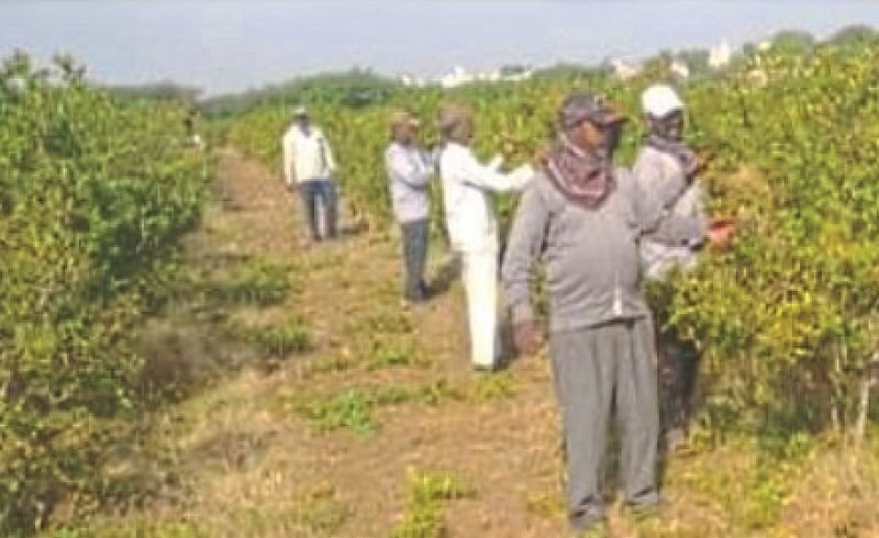 Accelerate pruning of pomegranate orchards in Atpadi area