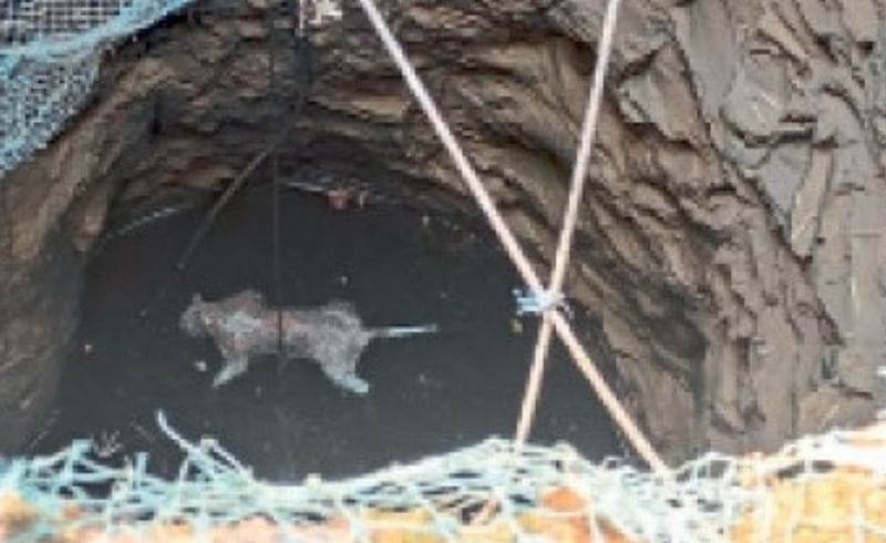 Dead leopard found in well kokan marathi news