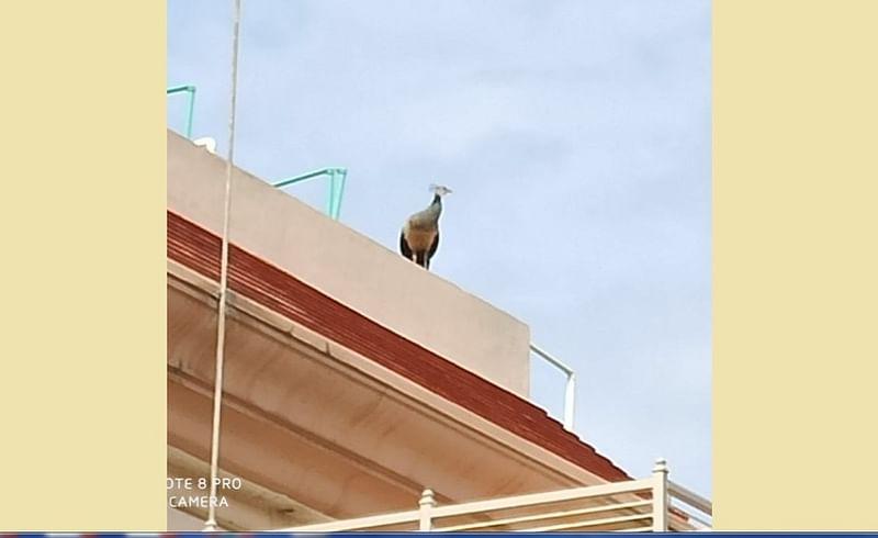 औरंगाबाद - इमारतीच्या छतावर बसलेली लांडोर
