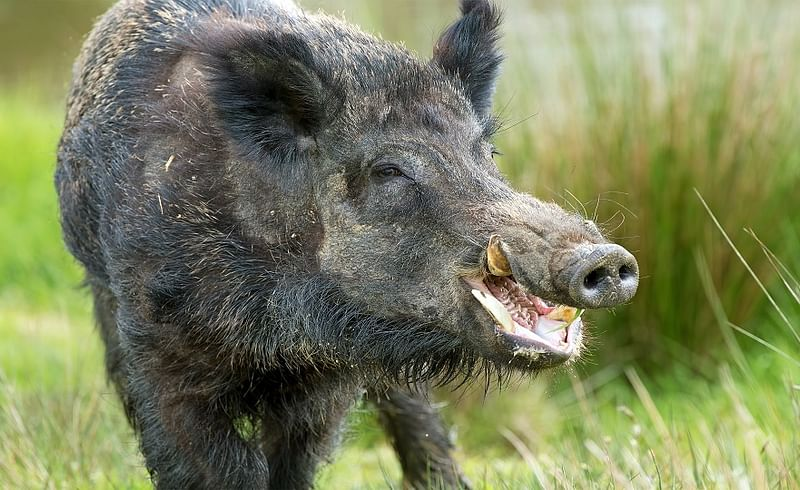 Wild Pigs Attack In Beed District