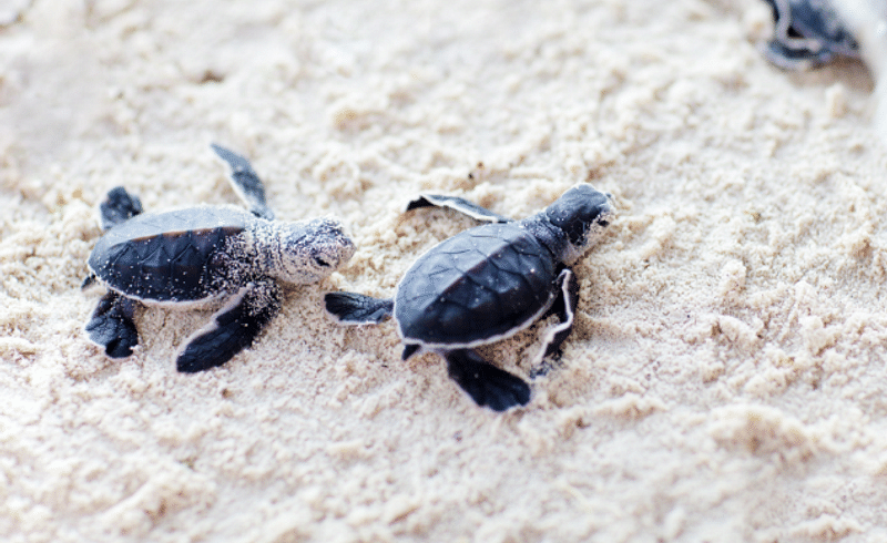 the baby turtles flew from the velas sea beach