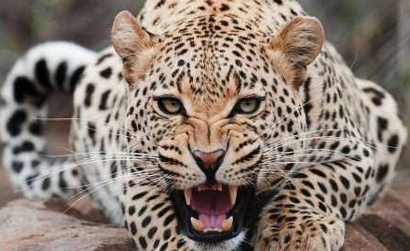 Separate road for leopards on Nashik-Pune National Highway