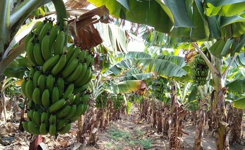 कामठा (ता. तुळजापूर) : विकास रामलिंग पटाडे यांची केळीची बाग.