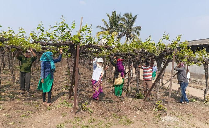 The grape season in Junnar taluka is in trouble.jpg