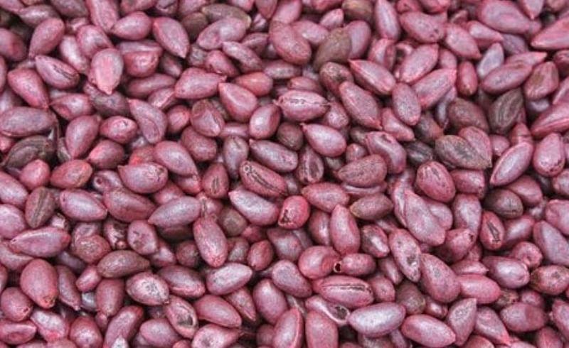 cotton BT seeds