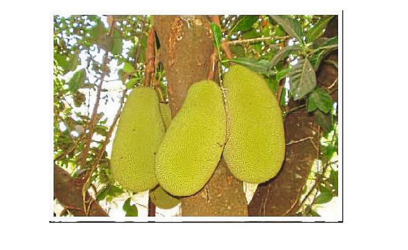 A Blow To The Fruit processing industry Kolhapur Marathi News