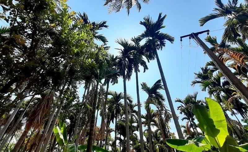crop areca nut 100 hectares damaged nisarga cyclone in konkan mandangad