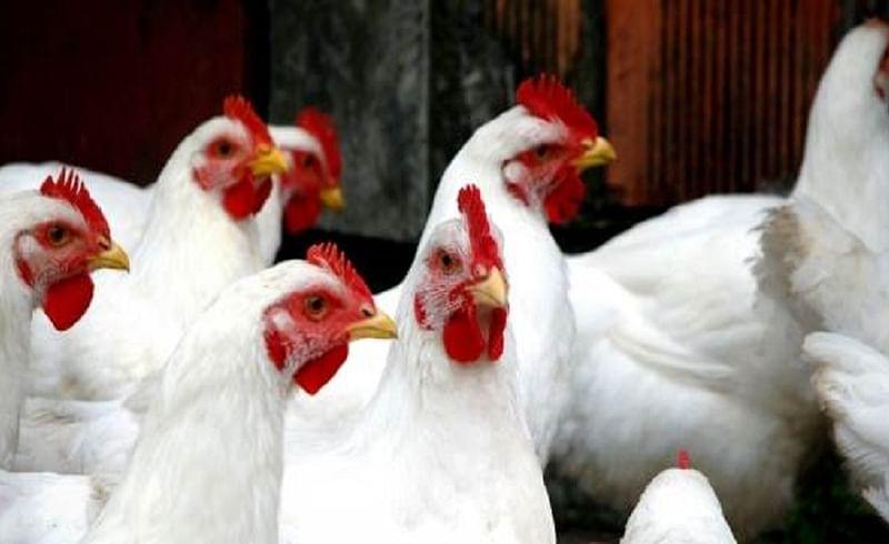 paultry hen.jpg