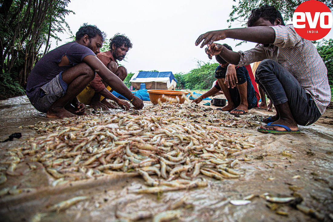 Sorting of the catch of prawns
