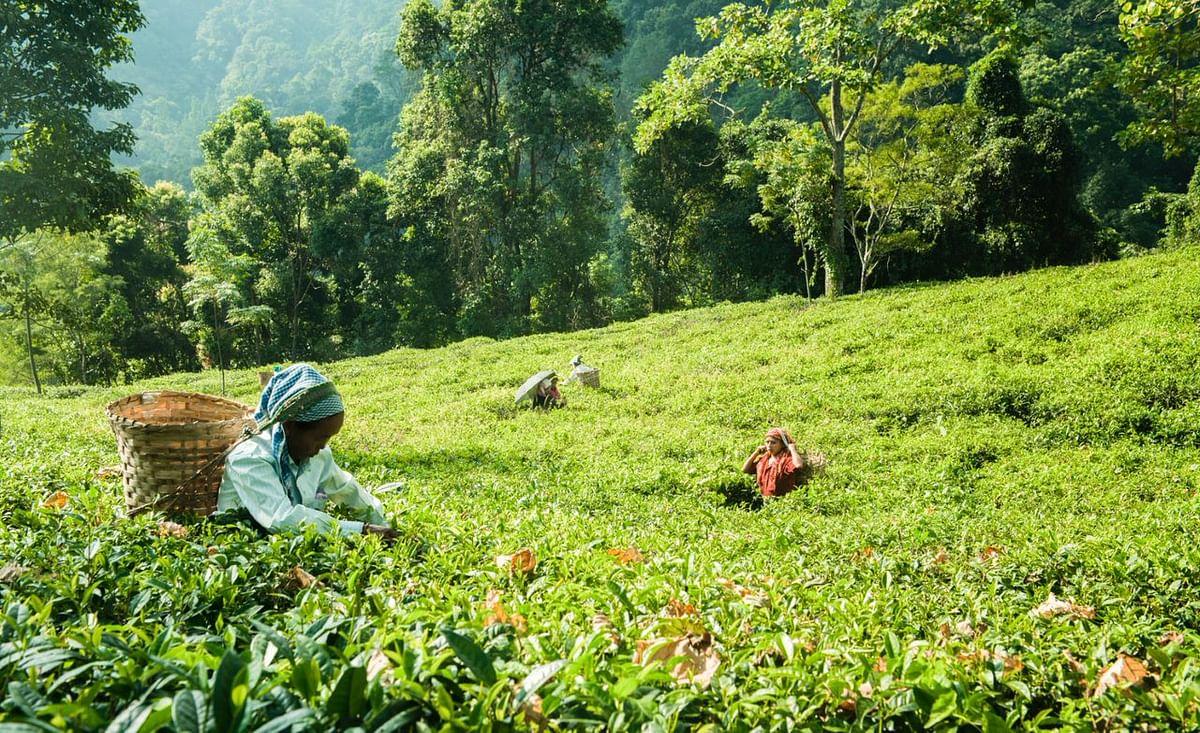 Pluckers plucking first flush from tea gardens