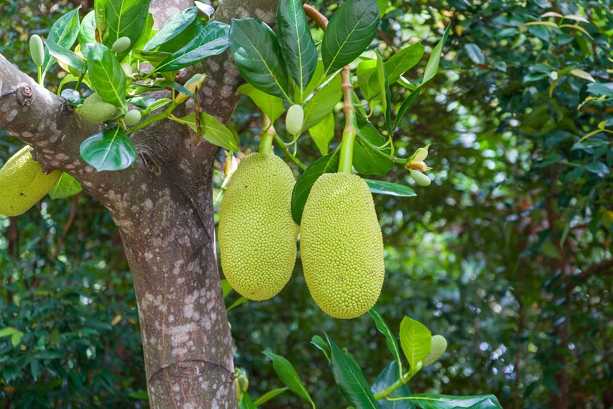 Bengaluru exports processed & organic  jackfruit to Germany