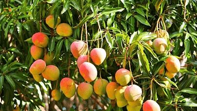 Mango, 'king of fruits' is intrinsic part of Maharashtra's culture
