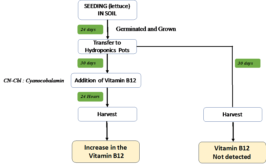 Hydroponics to increase the vitamin B12 in plant based diet