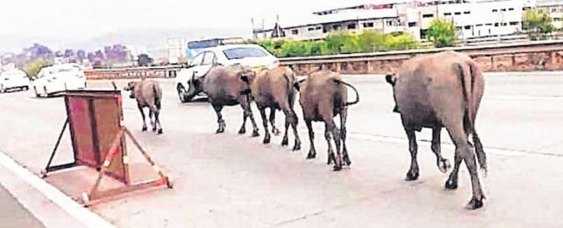 Look who's mooing on Pune-Mumbai expressway