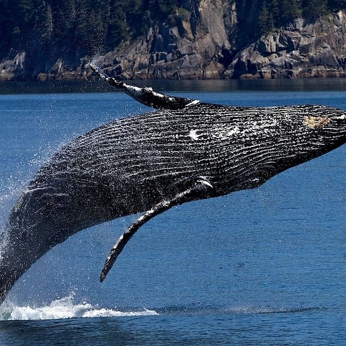 NO MORE WHALING: Japan under pressure overhunting of endangered whales