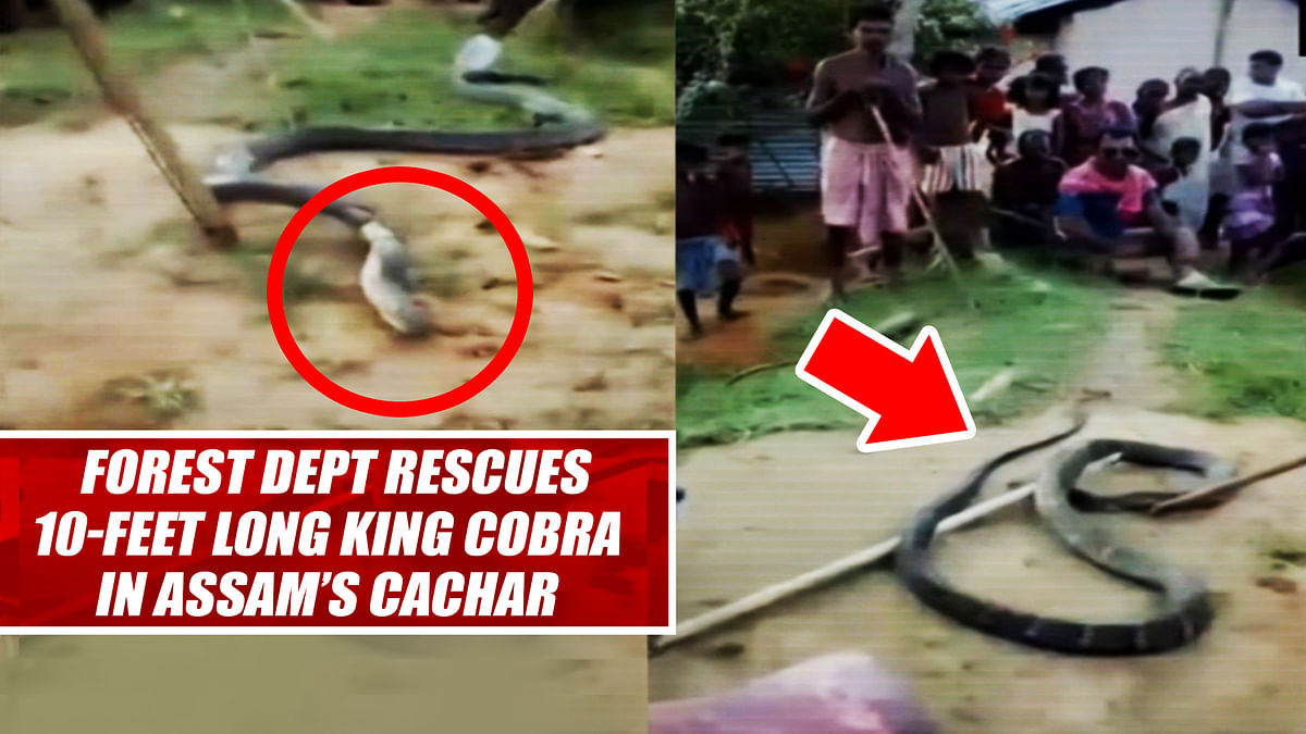 Forest Dept Rescues 10-Feet Long KING COBRA In Assam's Cachar
