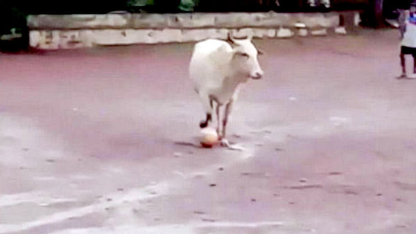 Viral Video of cow playing football in Goa has left twitterverse in splits