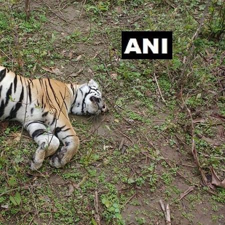 Bhopal: Amid raging fire, carcass of tigress found in Bandhavgarh