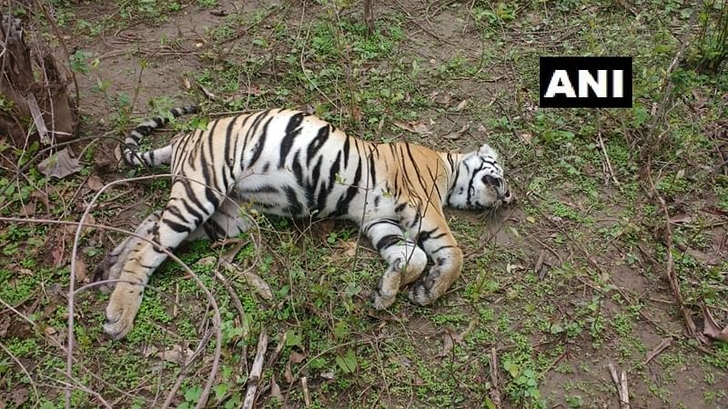 Madhya Pradesh: 2 cubs found dead, tigress sightless in Bandhavgarh Tiger Reserve in Umaria