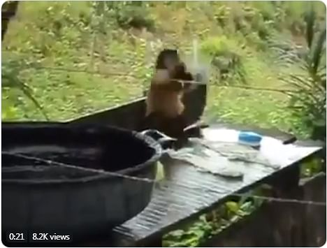 Monkey Baat! Netizens go crazy over a video that shows ape washing clothes