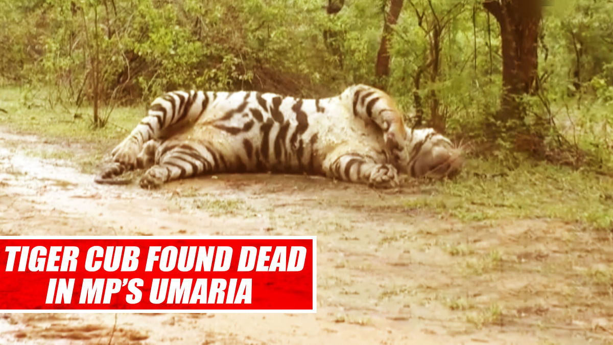 Tiger Cub Found Dead In MP's Umaria