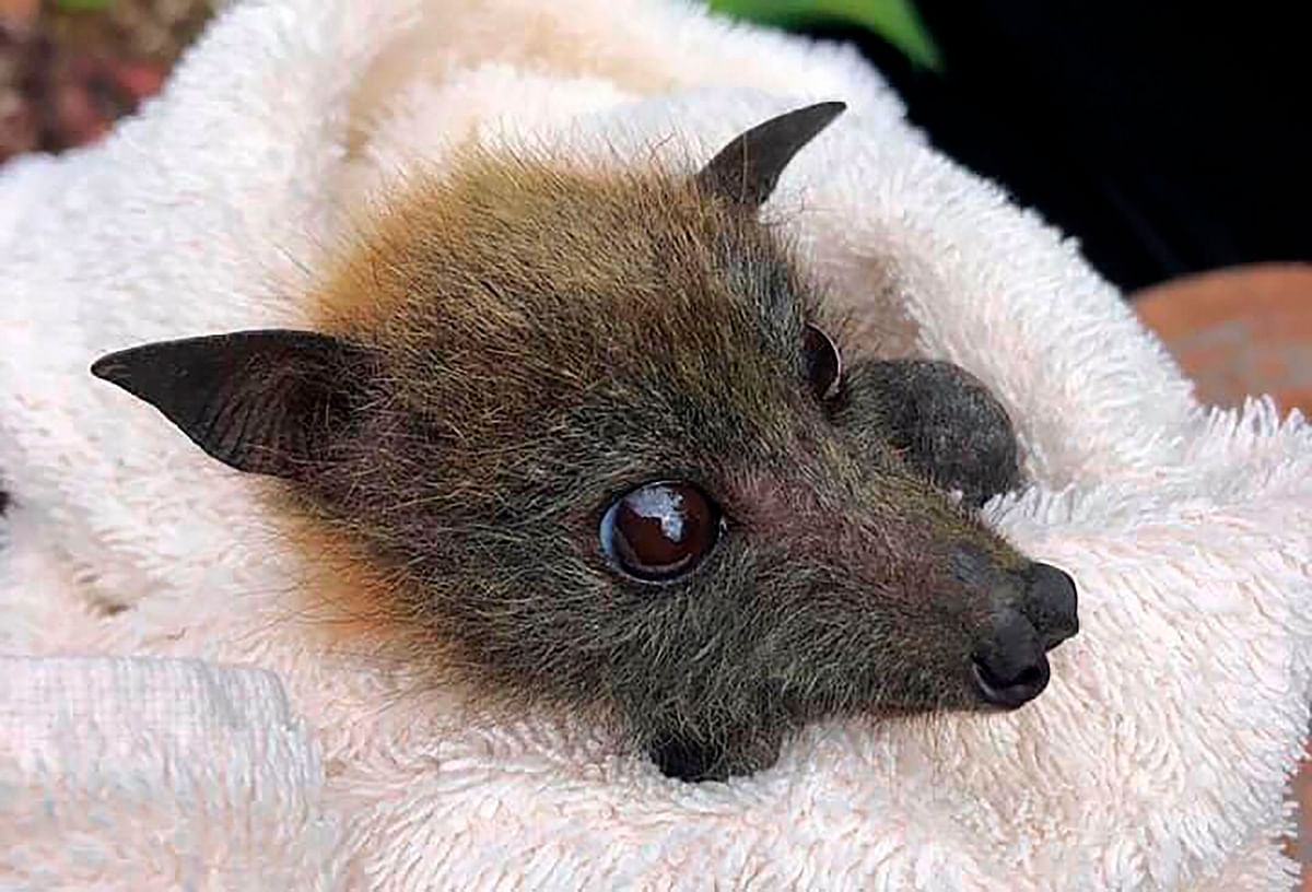 Queensland Bats shows a fruit bat rescued from the recent drought by the rescue group on the Gold Coast.